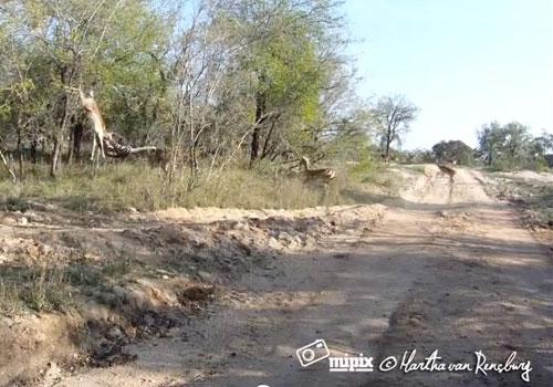 leopard-strike