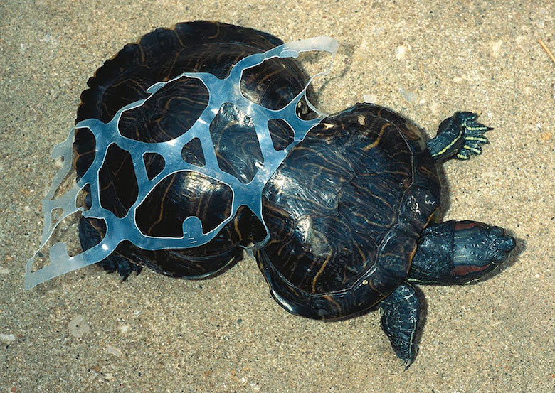 This tortoise trapped in plastic waste grew disproportionately