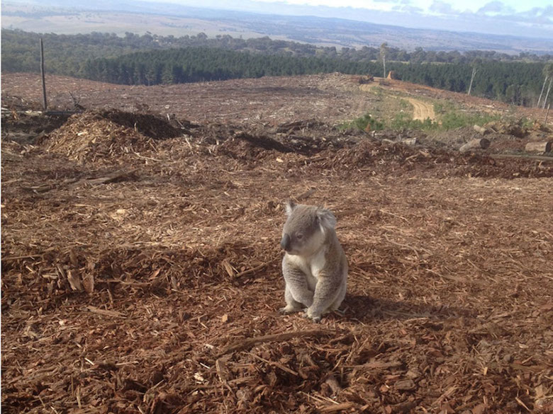 This Koala lost her home after loggers destroyed the forest