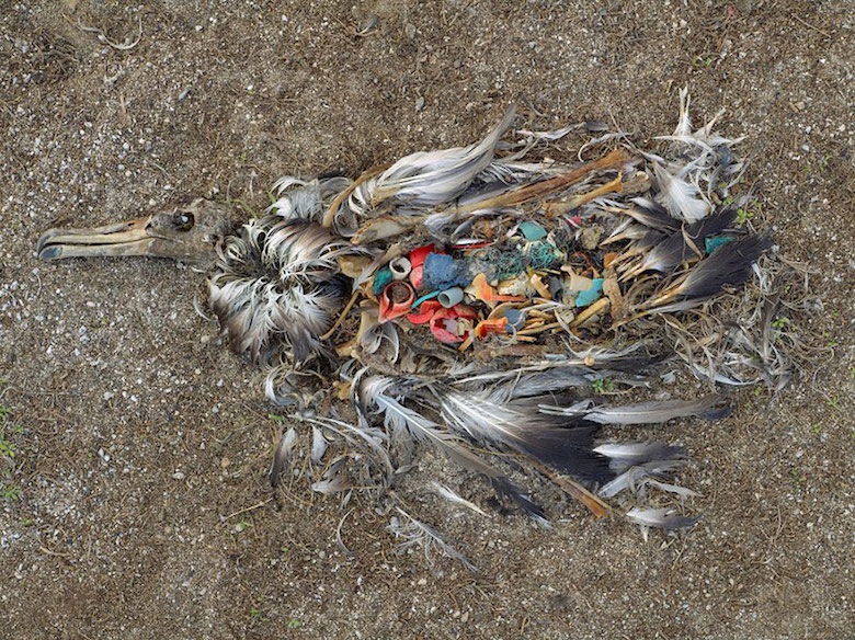 Albatross killed by excessive plastic ingestion (Midway Islands, North Pacific)