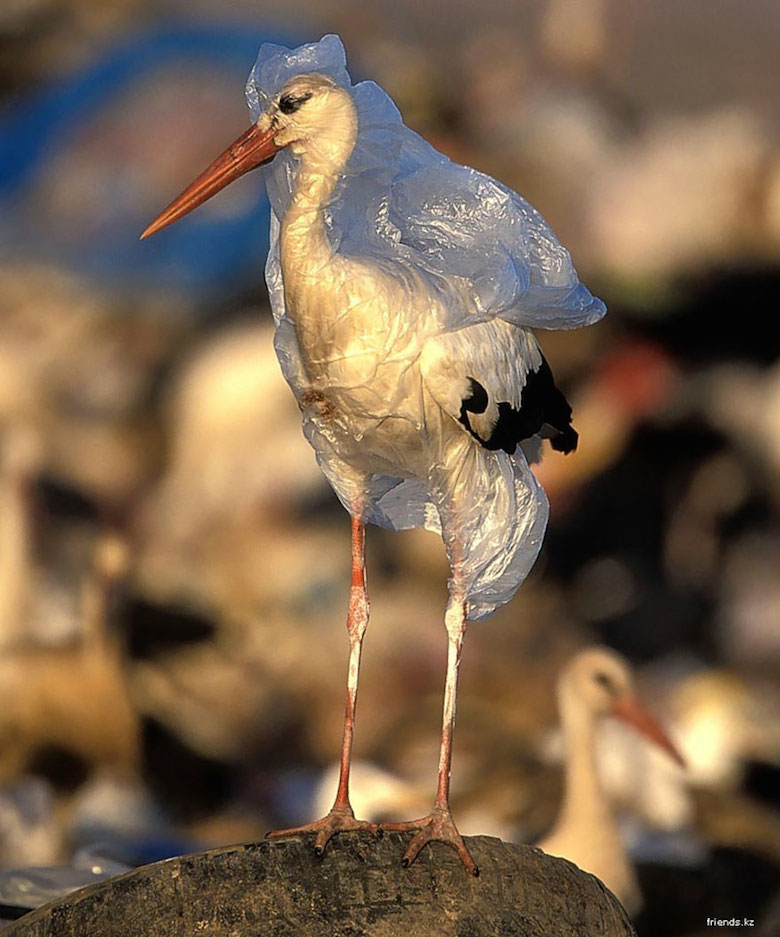 A stork trapped in plastic