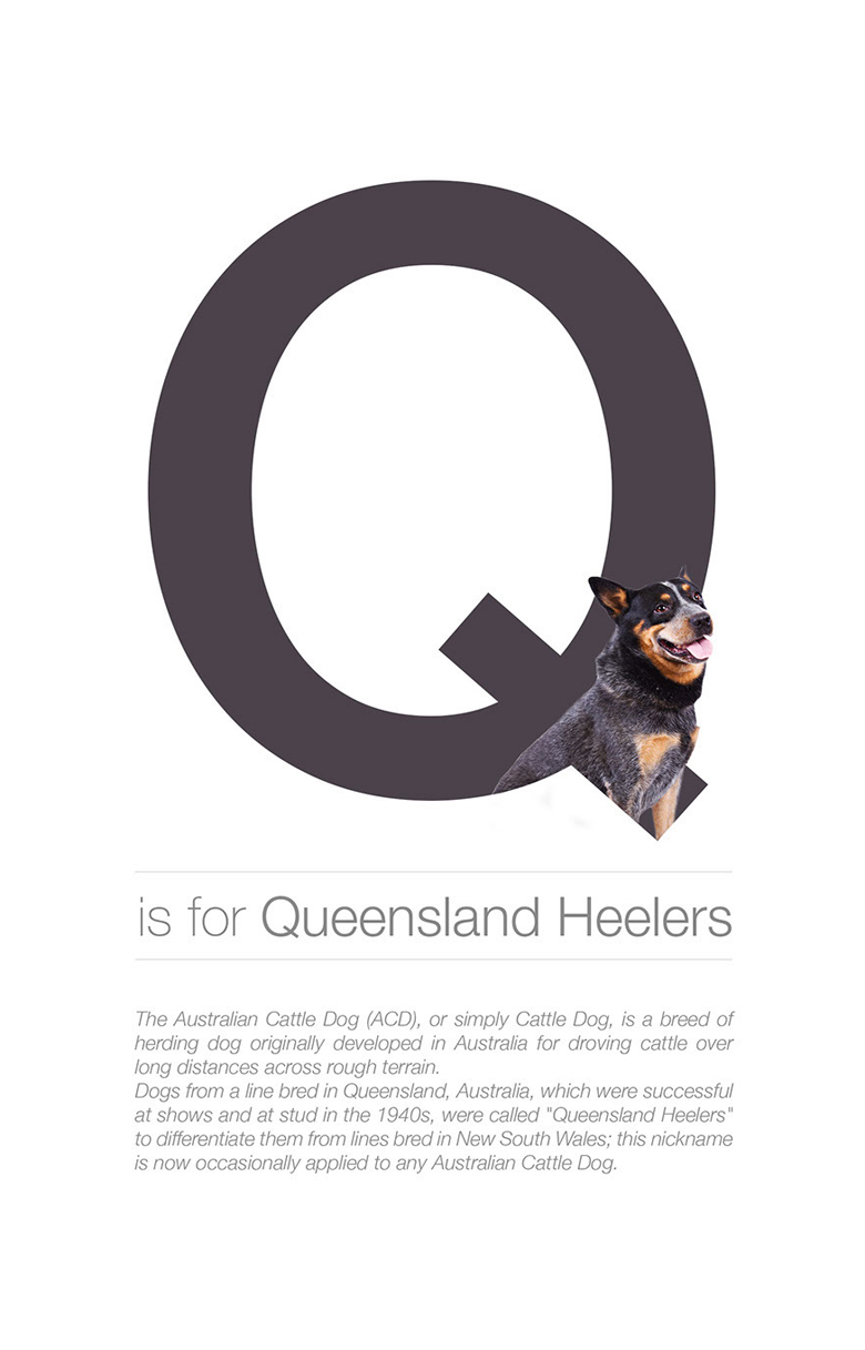 Alphabetical dog breeds - Queensland Heelers