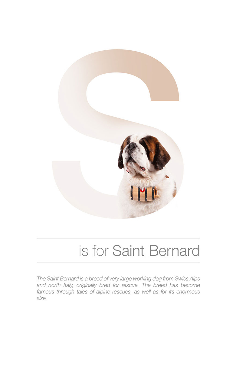 Alphabetical dog breeds - Saint Bernard