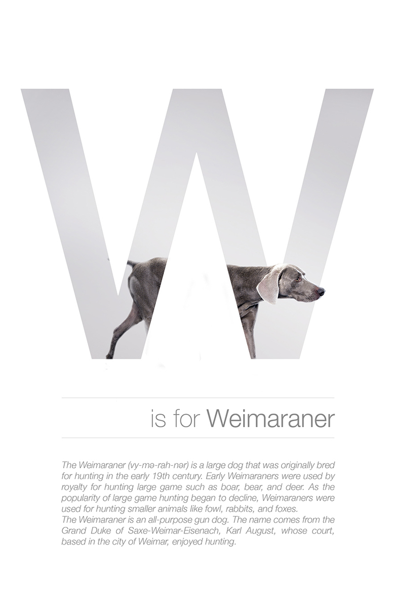 Alphabetical dog breeds - Weimaraner
